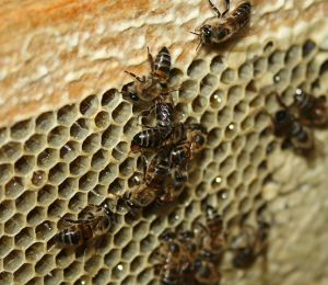 553px_Honeybee_gorging